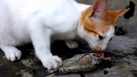 Meski Bisa Makan Ikan, Ini Alasan Mengapa Sebaiknya Kucing Tidak Boleh Makan Ikan Mentah