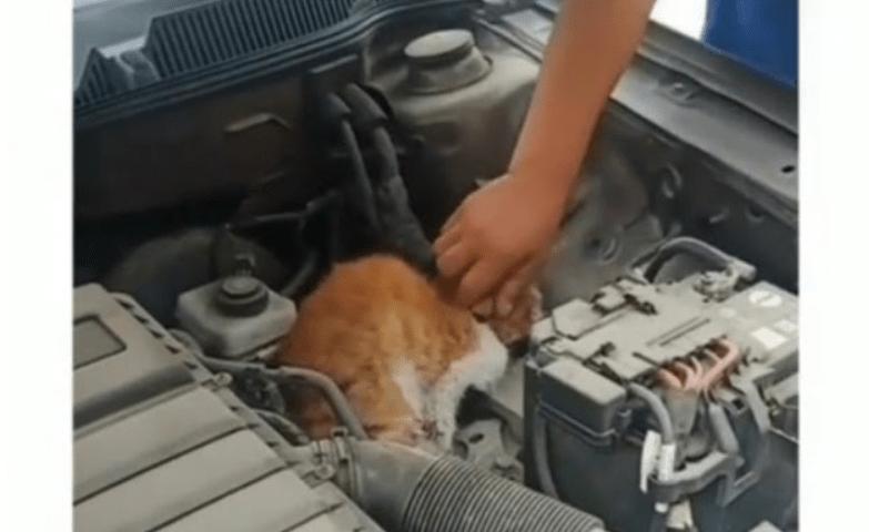 Sungguh Kasihan, Kucing Ini Kaku dan Kering seperti Kerupuk karena Terperangkap di Dalam Mesin Mobil